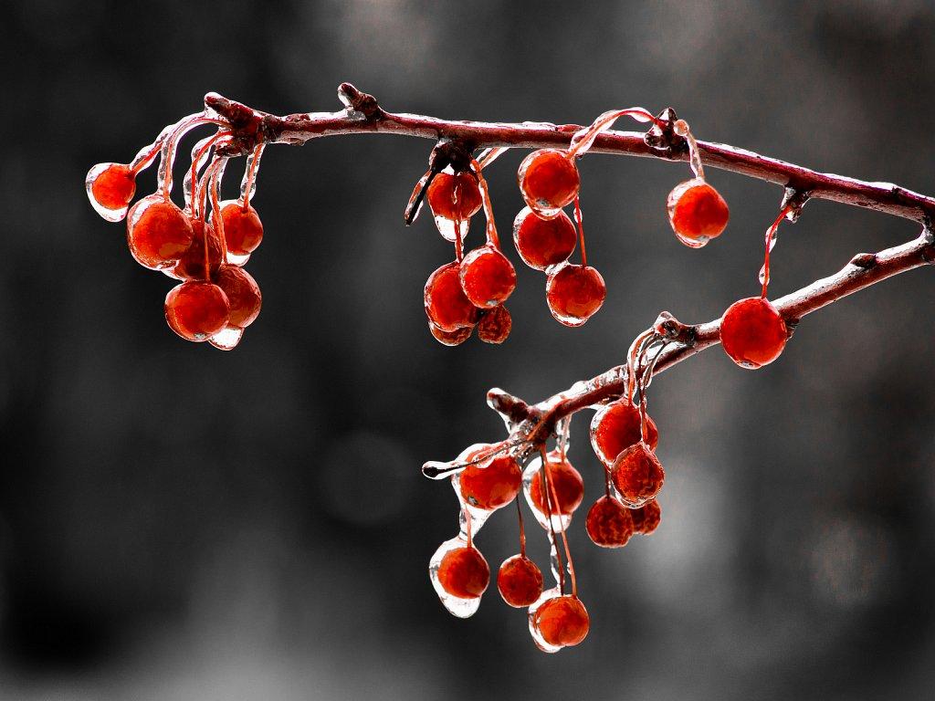 Frozen Berries, Denoon Park, Muskego, Wisconsin