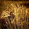 Golden Grass, Denoon Park, Muskego, Wisconsin