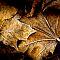Leaves of Brown, Muskego, Wisconsin